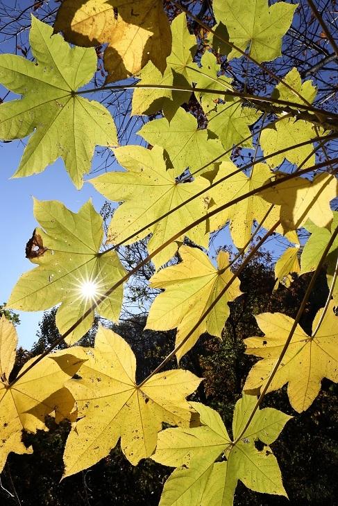 ハリギリ黄葉