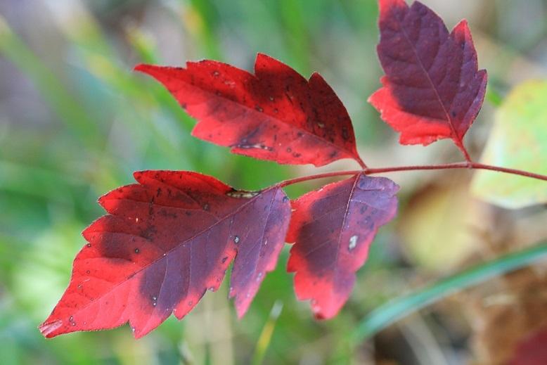 ヤマウルシ紅葉