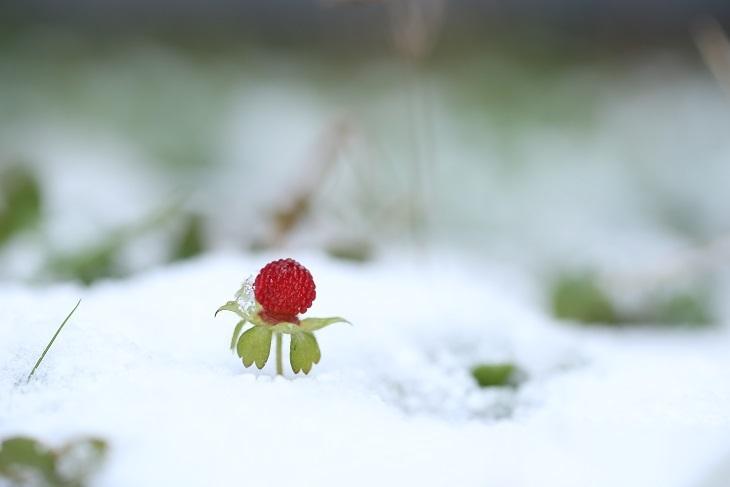 雪中のヘビイチゴ