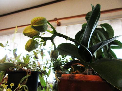 ミディ胡蝶蘭の蕾