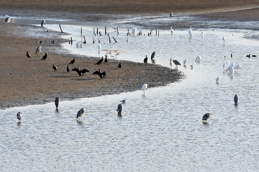 久米田池・野鳥 (0)