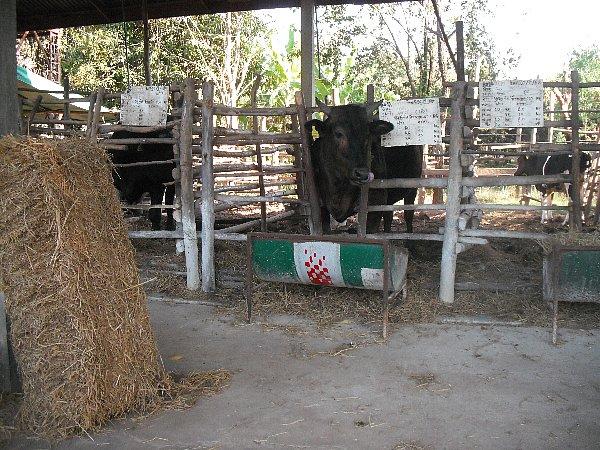 牛もいます