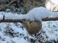 オオカマキリの卵のう