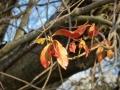 ツルマサキの紅葉