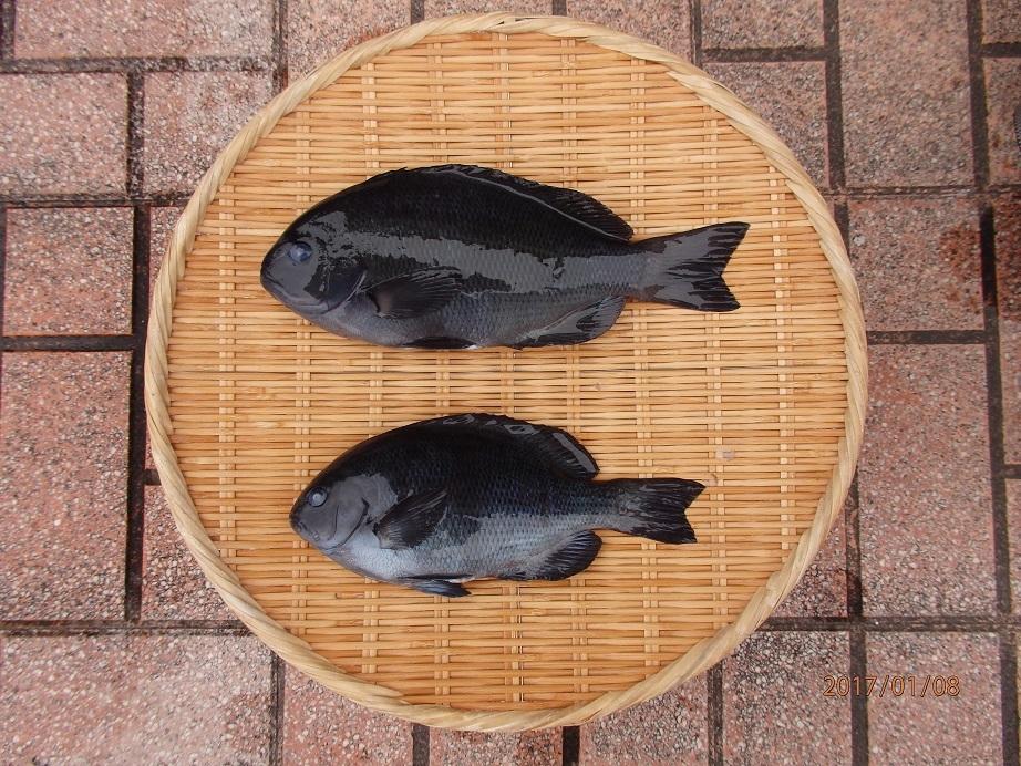 20170107和田漁港釣果