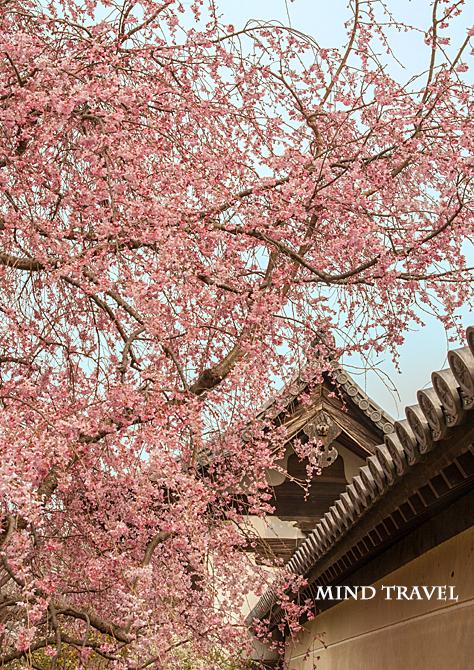法華寺 桜