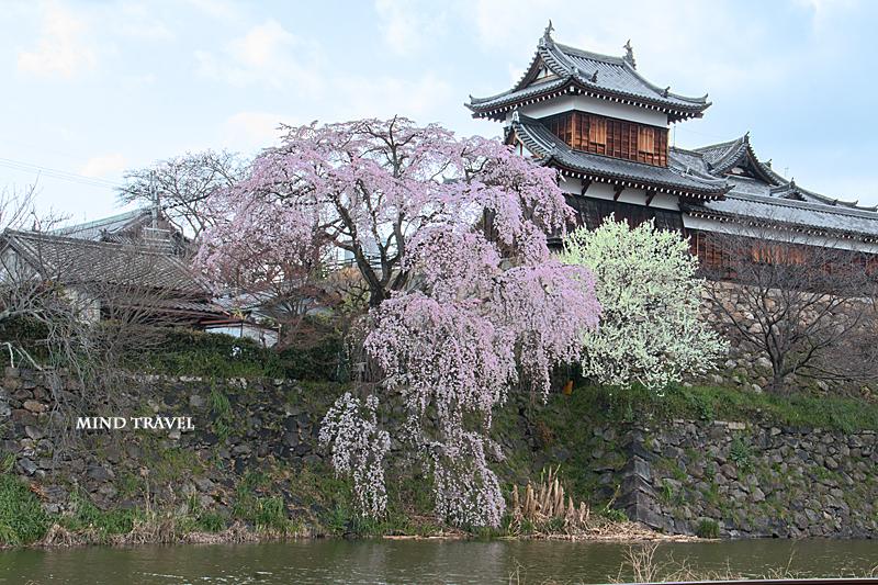 郡山城 桜