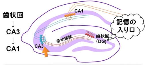 海馬歯状回 細胞新生