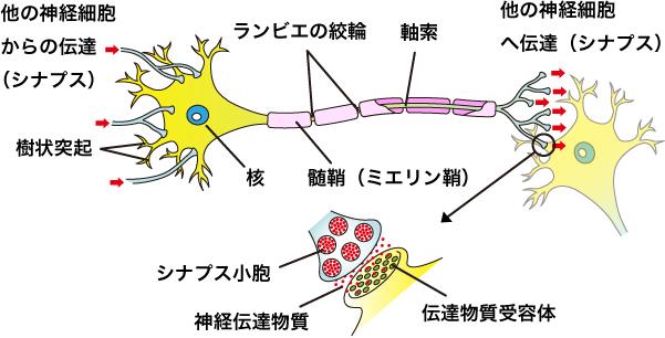 神経細胞2