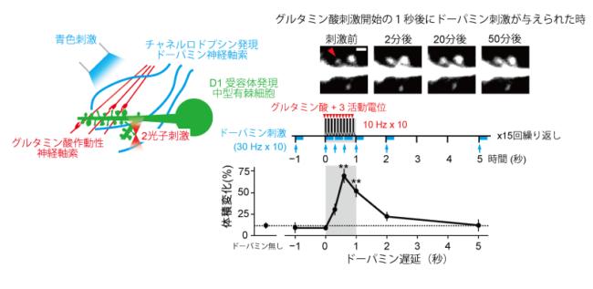 側坐核スパインシナプス増大のドーパミン遅延依存性