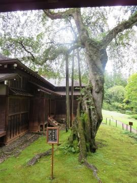 日光市指定天然記念物 シダレザクラ(樹齢 約400年)