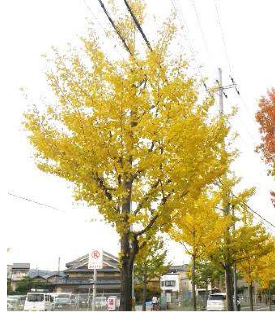 東大路通りの街路樹