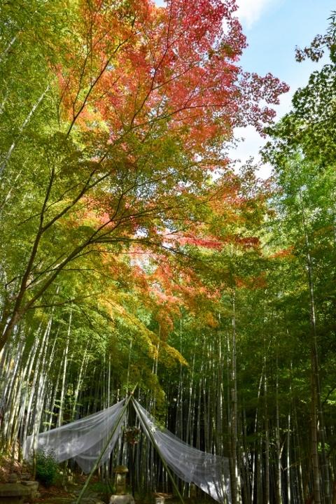 竹林の紅葉