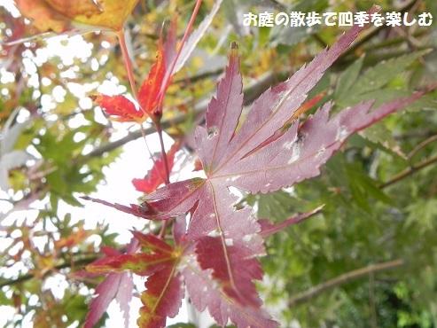 momiji12_20161110114503be9.jpg