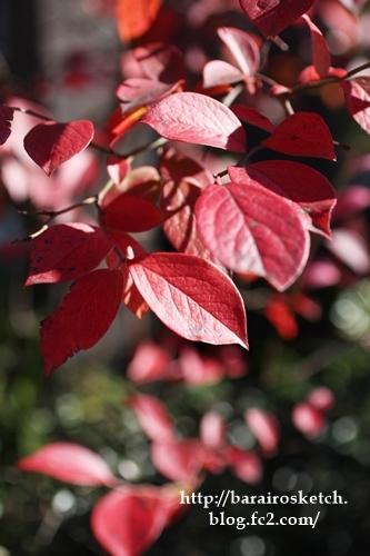 ブルーベリー紅葉201612-11