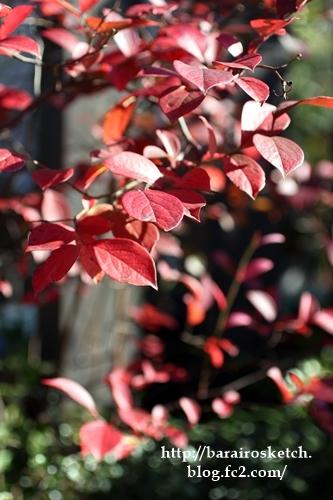 ブルーベリー紅葉201612-12