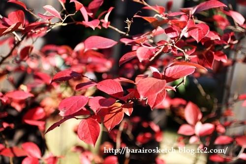 ブルーベリー紅葉201612-13