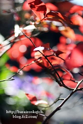 ブルーベリー紅葉201612-14