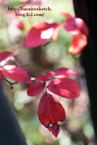 ブルーベリー紅葉201612-15