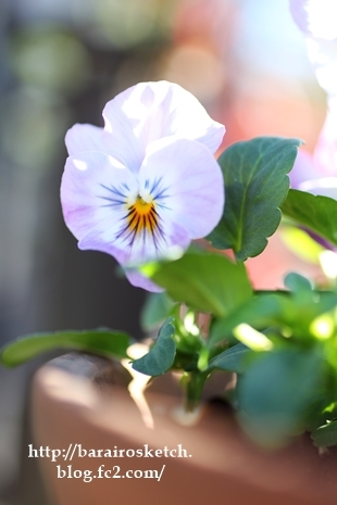 よく咲くスミレ201612-11