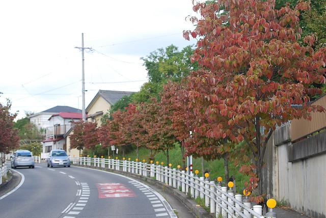 紅葉したハナミズキの並木