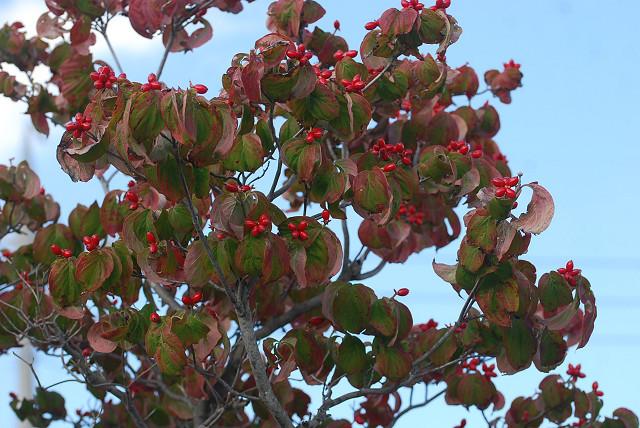 ハナミズキの赤い実がいっぱい