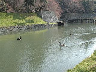彦根城のコクチョウ