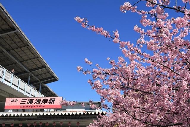 2017三浦海岸さくら祭り 駅前の桜