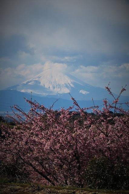 2017三浦海岸さくら祭り 富士山と桜(1)