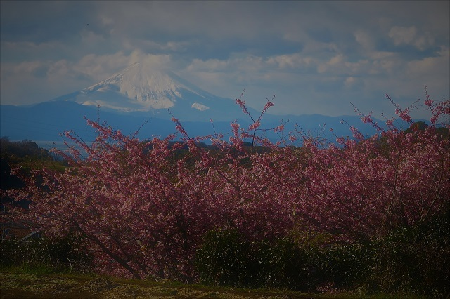 2017三浦海岸さくら祭り 富士山と桜(2)