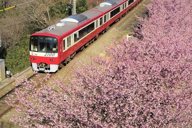 2017三浦海岸さくら祭り 京急と桜(3)