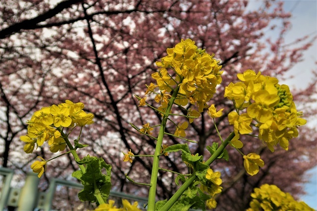 2017三浦海岸さくら祭り 菜の花と桜(1)