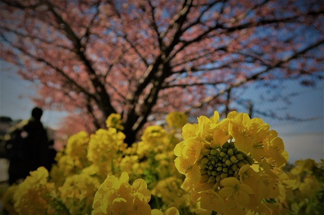 2017三浦海岸さくら祭り 菜の花と桜(2)
