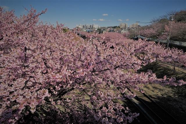 2017三浦海岸さくら祭り 桜爛漫(1)