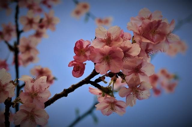 2017三浦海岸さくら祭り 桜アップ(4)