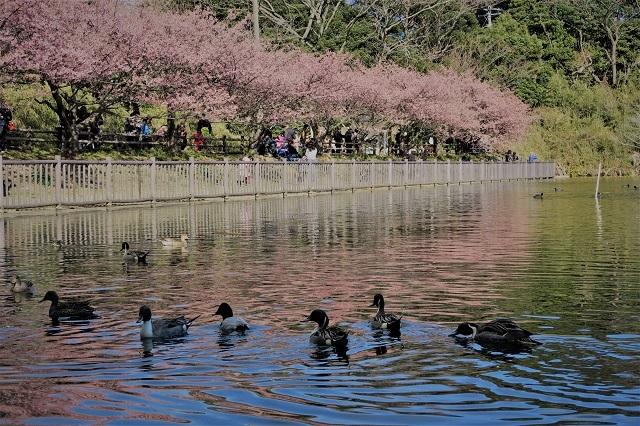 2017三浦海岸さくら祭り 桜と鳥(1)