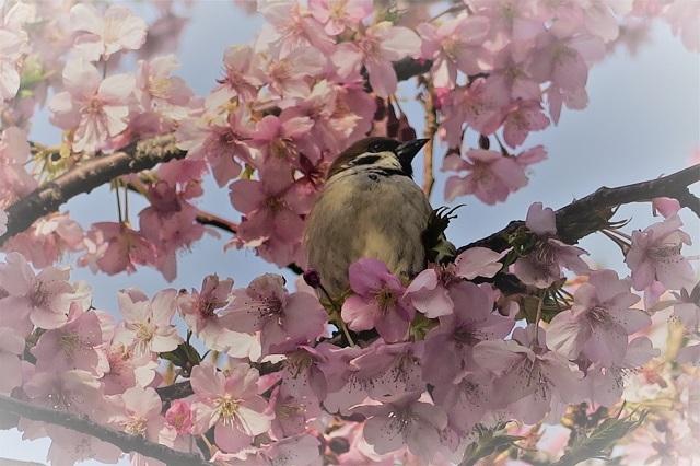 2017三浦海岸さくら祭り 桜と鳥(3)