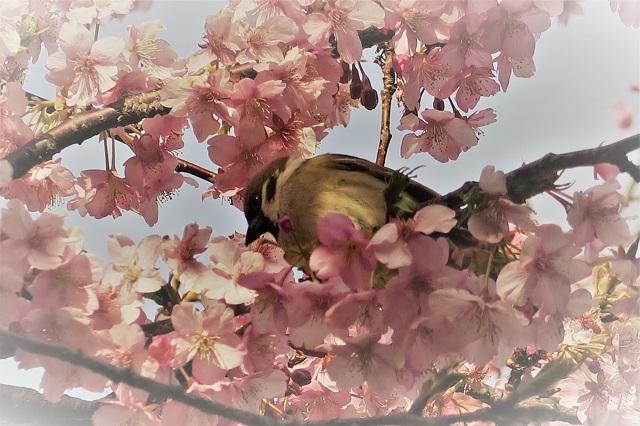 2017三浦海岸さくら祭り 桜と鳥(4)
