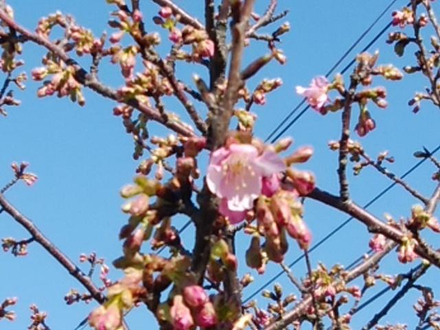 三崎口駅前で咲く河津桜