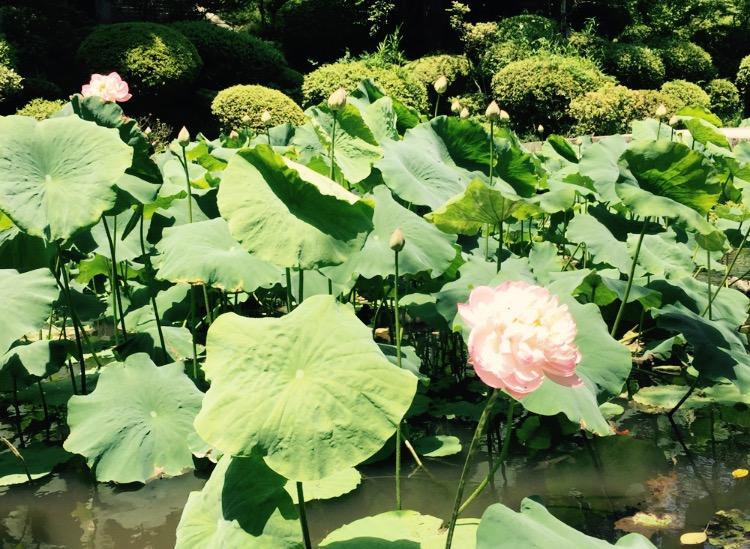 三井寺の蓮池