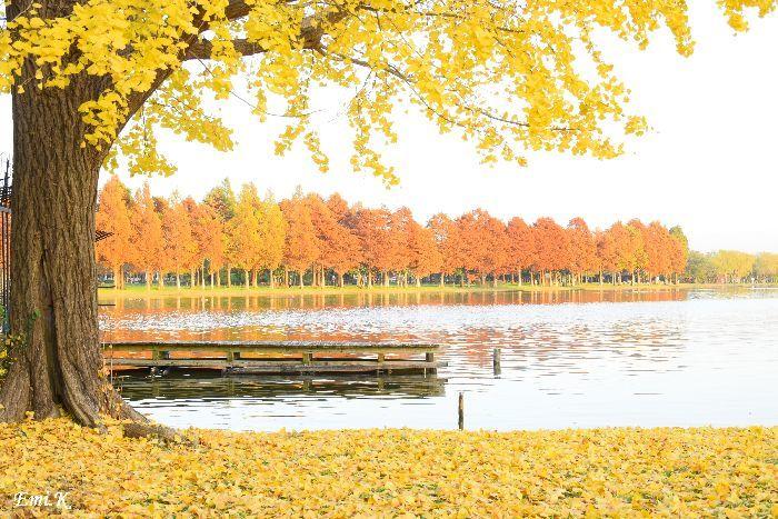 078-Emi-イチョウの絨毯-メタセコイア紅葉