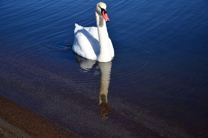 144-山中湖の白鳥