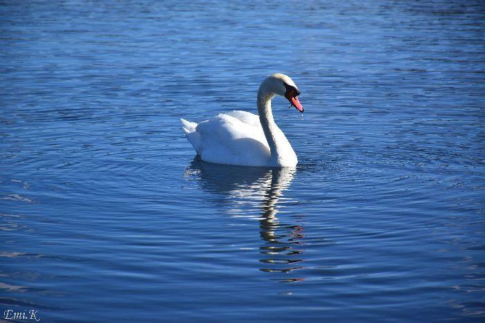 145-New-Emi-山中湖の白鳥