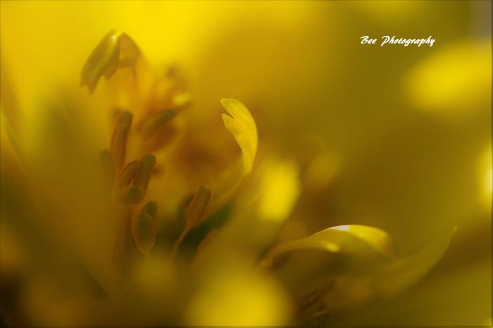 bee-郷土の森フクジュソウ7704