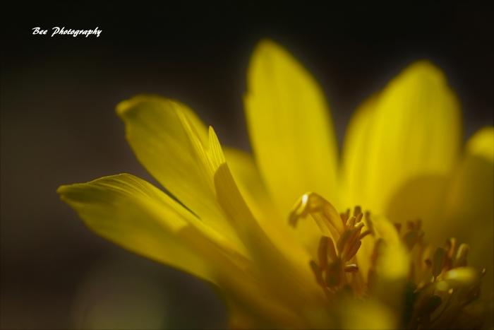 bee-郷土の森フクジュソウ7709