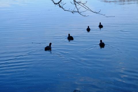 02池の水鳥