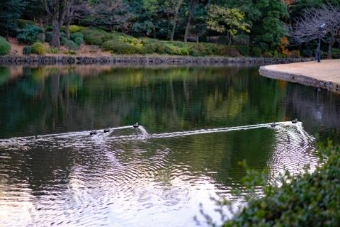 09東御苑池のカモ