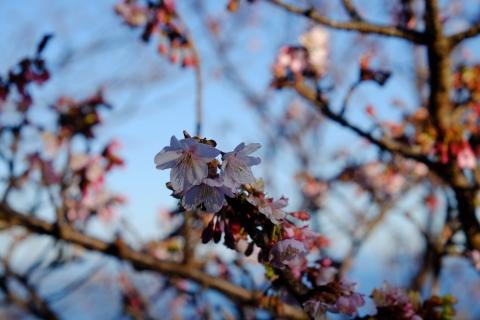 38薩埵峠へ 桜