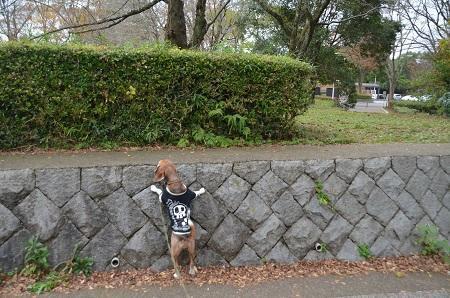 20161121佐倉城址公園04