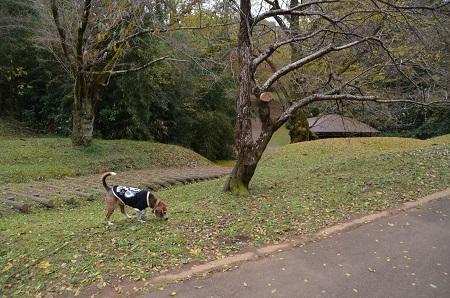 20161121佐倉城址公園07